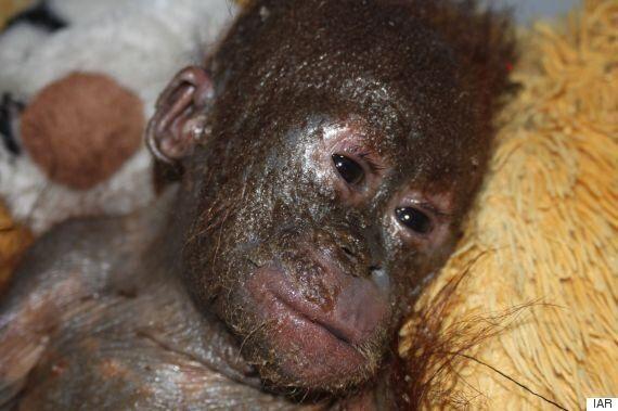 'Mummified' Baby Orangutan In Borneo Nursed Back To Health By International Animal