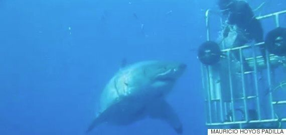 Watch This Diver Try And 'High Five' The Largest Shark We've Ever