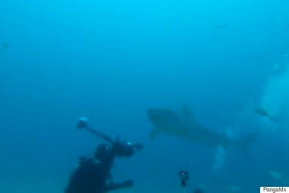 Watch This Tiger Shark Narrowly Miss A Diver And Attack GoPro