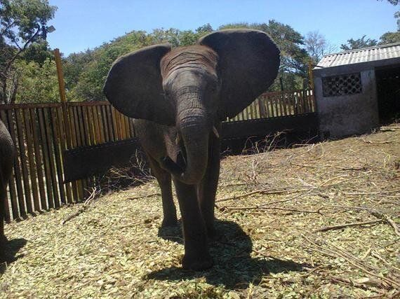 Zimbabwe Must Stop Its Plan to Ship Wild Baby Elephants to