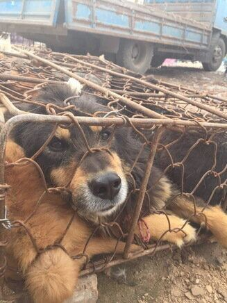 Exposing China's Yulin Dog Meat 'Festival'