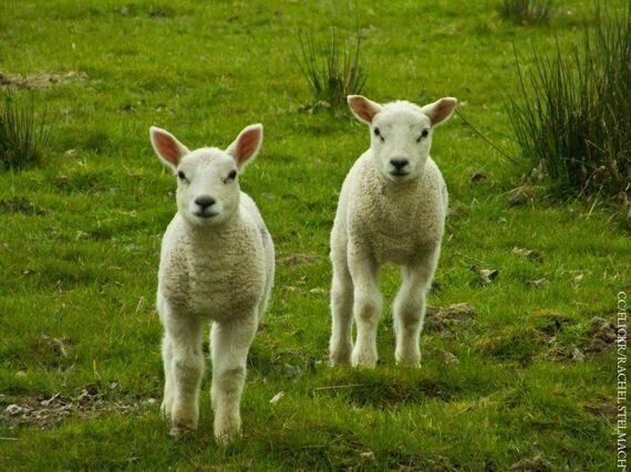 Cloning for Food Could Soon Be Banned in Europe Because of Animal Welfare