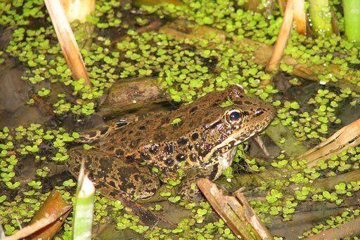 A New Age of Amphibian