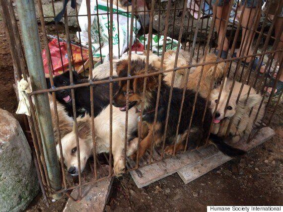 Yulin Dog Meat Festival Campaigner, Yang Xiaoyun, Travels 1,500 Miles To Save 100 Dogs From