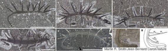 Hallucigenia Fossil Worm, Earth's Weirdest Creature Has A