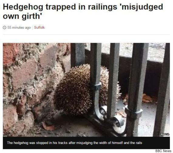 Hedgehog Became Stuck In Fence After 'Misjudging His Own