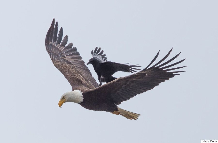 Crow Hitches A Ride With An Eagle In Amazing