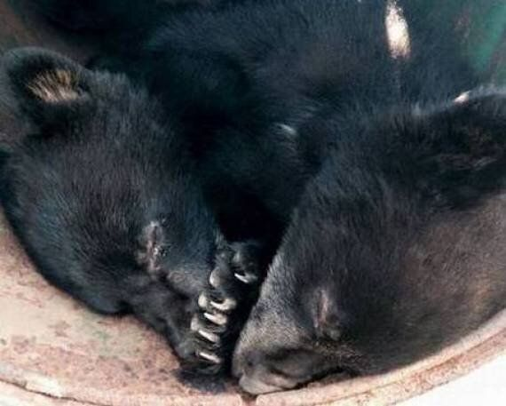 Ricky Gervais Calls For Officer Suspended For Refusing To Kill Bear Cubs To Be