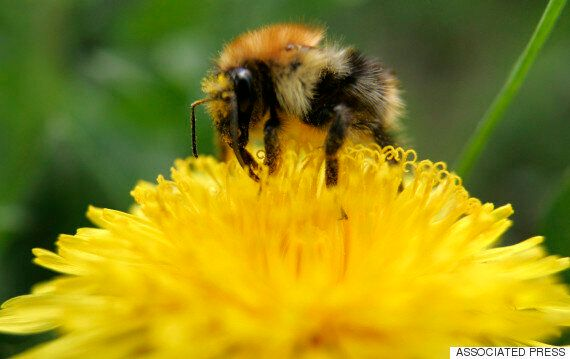 Climate Change Is Placing Bumblebees 'At Risk Of Future