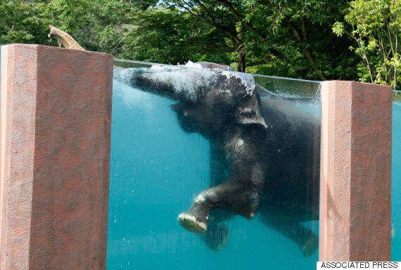 Elephant Swimming Pool Installed At Japan's Fuji Safari