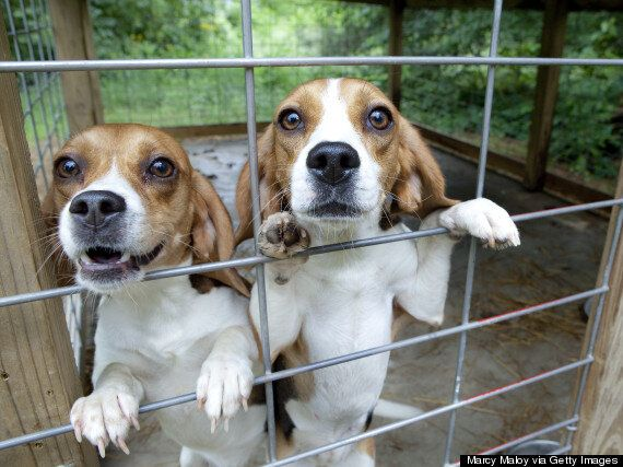 Animal Testing Beagle Puppy Farm Approved In