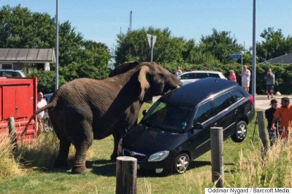 Circus Elephant Destroys Car After Beating From His