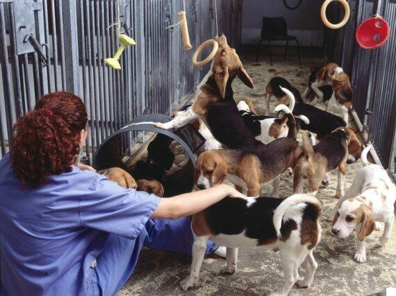 Why People Are Wrong to Oppose the New Beagle Breeding