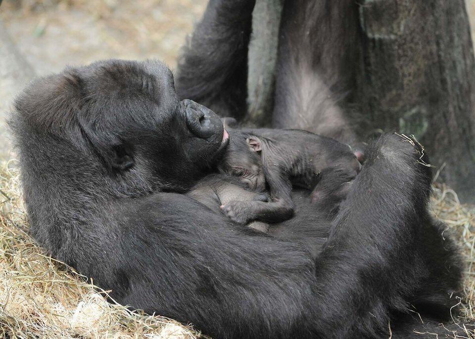 Orangutan Kisses Pregnant Woman's Belly Through Glass At