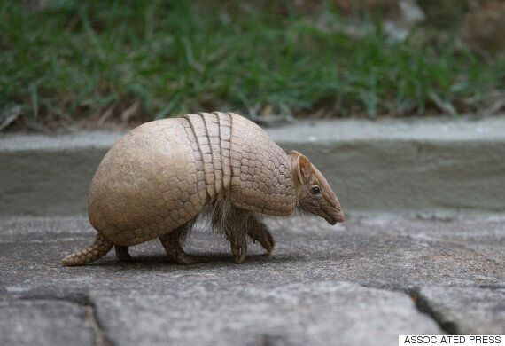 Leprosy Outbreak In Florida: Experts Say Armadillos Could Be To