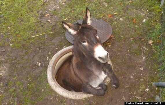 Donkey Gets Stuck In A