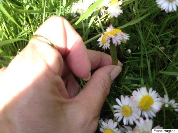 Fukushima Daisies Go Viral As Nuclear Radiation Is Blamed For