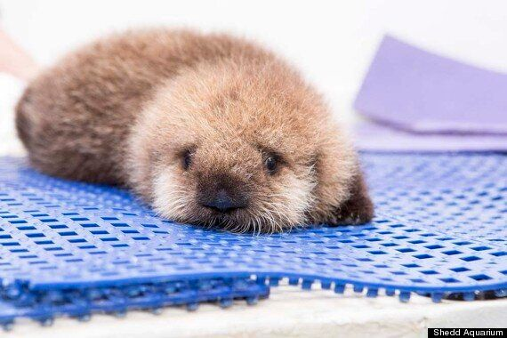 Orphaned Baby Otter Learning To Swim At Chicago's Shedd Aquarium Redefines