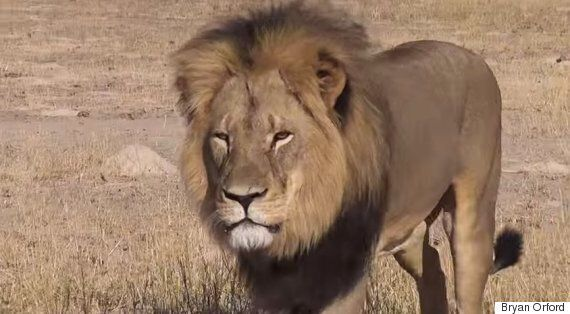 MEP Calls For EU Ban On Trophy Lion Imports After Zimbabwe's Cecil The Lion Was