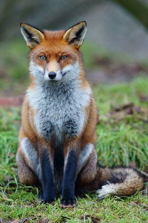 Fox-Hunting Ban: What Makes Foxes So