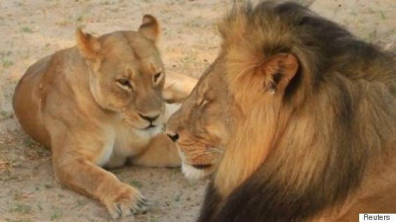 Cecil The Lion Footage Released By Safari