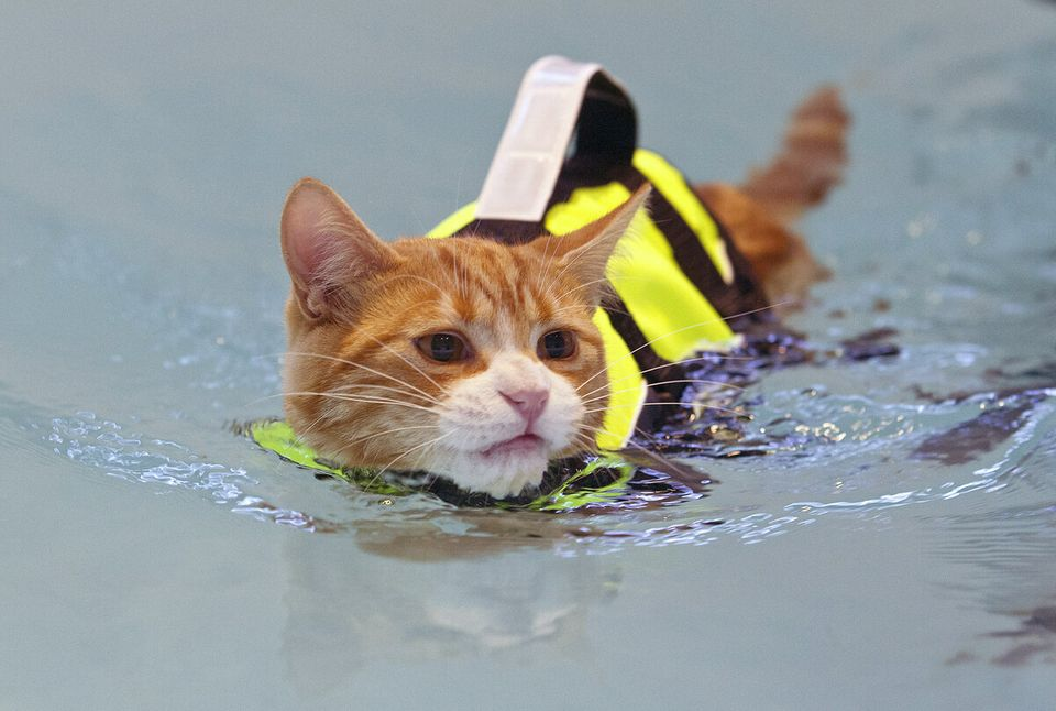 Meet Roy The Cat Who Has Hydrotherapy Treatment To