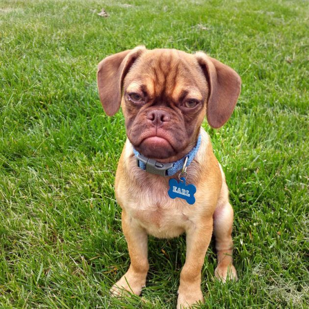Earl The Grumpy Puppy Is An Angry Puggle With A Heart Of