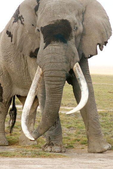 Treating a Giant Bull Elephant Named