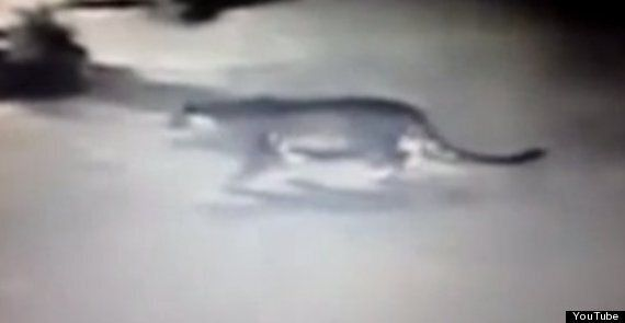 Paris Tiger Is Not A Tiger, But Police Continue Hunt For Mystery