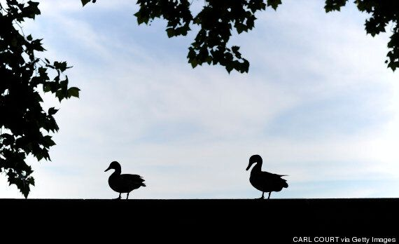 Bird Flu Confirmed At Yorkshire Duck Farm In First UK Case In 6