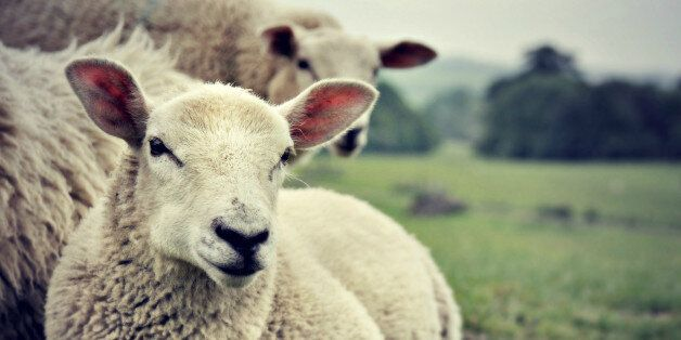 Ewe, Gross. Student Has Sex With Sheep In University Barn - Because He Was Stressed With