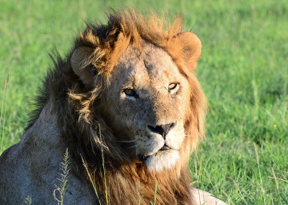 Breeding Cruelty - The Problem With Lion Tourism in