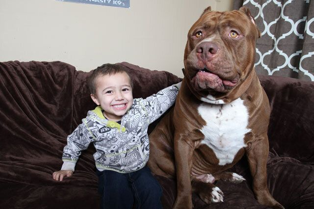 Toddler Plays With 12 Stone Pit Bull Dog Named 'Hulk