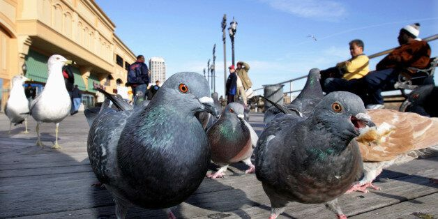 Pigeons and Seagulls have plenty of human company during the mild weather on the Atlantic City Boardwalk,...