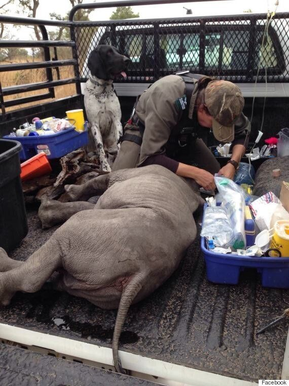 Orphaned Baby Rhino Whose Mother Was Killed By Poachers Looks To Passing Cars To Be His New