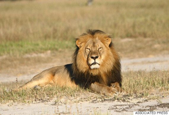 Cecil The Lion's Cub Killed By Another Male Trying To Mate With Its