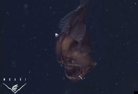 Black Sea Devil Fish Filmed For The First Time In California's Monterey