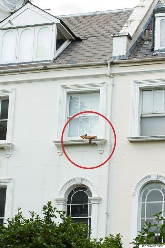 Notting Hill Fox Infiltrates Tory Heartland By Napping On Window Ledge Near Rachel Johnson's