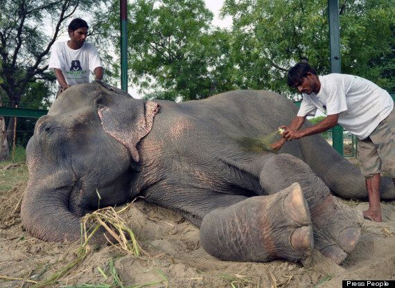Elephant That Wept Upon Release From 50 Years In Shackles Is Finally Free Of Cruel