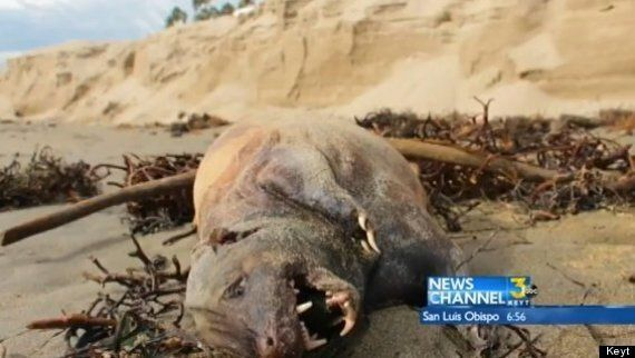 Another Montauk Monster? Mystery Creature Washes Up On California