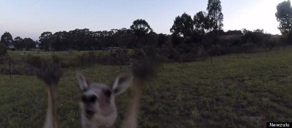 Kangaroo Takes On Drone, Kangaroo