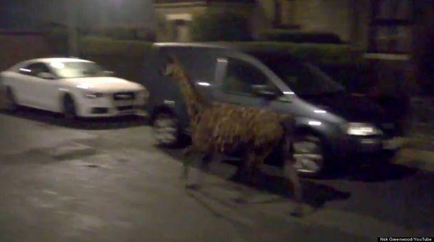 Runaway Llama Causes Havoc In Greater