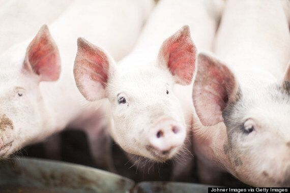 Children's Authors Warned Not To Write About Pork Or Pigs To 'Avoid