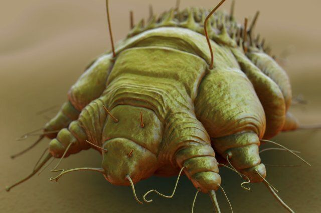 A close-up view of the cause of scabies - the mite Sarcoptes scabiei.