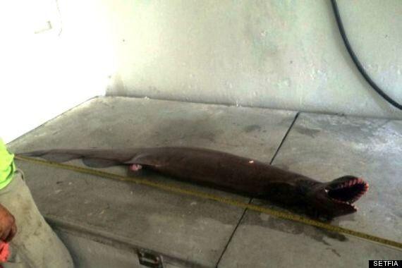 Frilled Shark Found By Australian