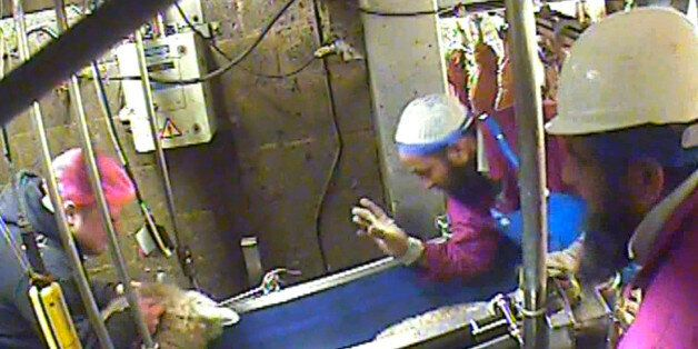 Halal Slaughterhouse Filmed Torturing And Taunting Sheep