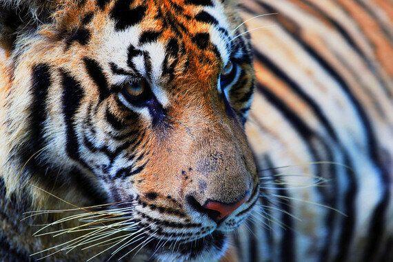 Tiger Tiger Burning
