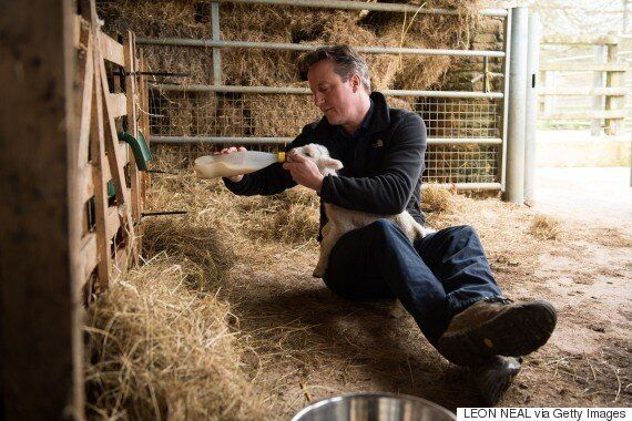 David Cameron Feeds An Orphaned Baby Sheep At Dean Lane