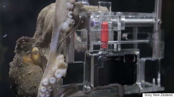 Octopus Turns The Tables Using Waterproof Camera To Take Pictures Of Its