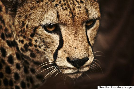 Boy, 2, Falls Into Zoo Cheetah Pit After Mother Dangles Him Over
